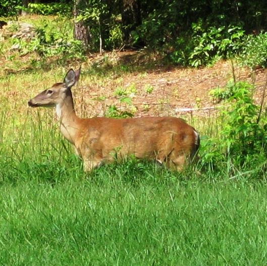 Backyard Visitor 2