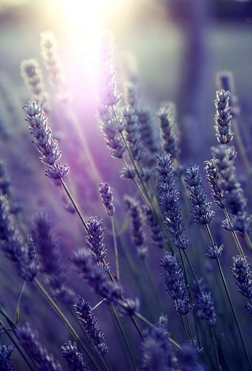 Shades of Lavender2