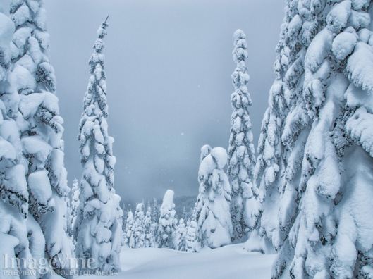 Sof gray skies are filled with snowflakes that landing gently on the delicate evergreen trees of the forrest in this winter background image.