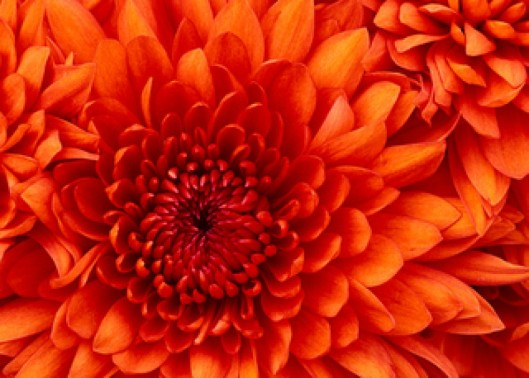 cropped-chrysanthemum